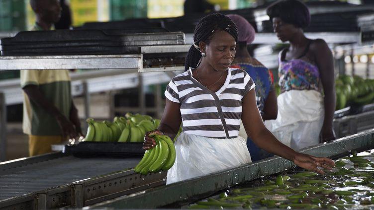 Des travailleurs nettoient, trient et emballent des bananes dans uneexploitation proche de la ville de Caxito et créée par le groupe agroalimentaire angolais Novagrolider, le 14 novembre 2018, à 60 km de la capitale de l'Angola, Luanda. L'agro-industrie est une secteur d'avenir pour les économies africaines. (RODGER BOSCH / AFP)