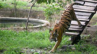 Un tigre dans un zoo en Inde, le 29 juillet 2018. (PRAVIN BARNALE / THE TIMES OF INDIA / AFP)
