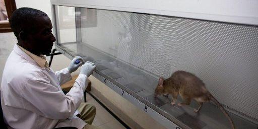 Durant neuf mois, les rats sont quotidiennement entraînés pour reconnaître l'odeur du TNT. (AFP PHOTO/YASUYOSHI CHIBA)