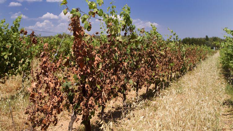 Des vignes victimes de la canicule en région Occitanie, photographiées le 4 juillet 2019. (GUILLAUME BONNEFONT / MAXPPP)