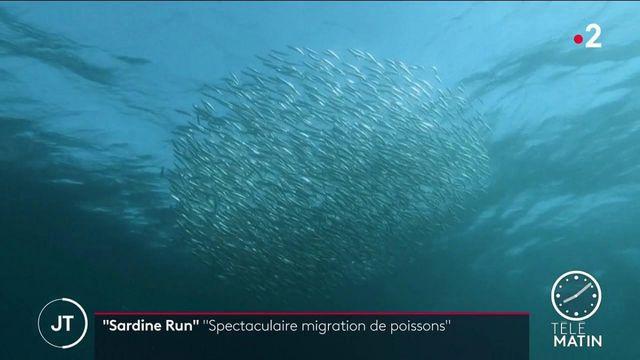 """Afrique du Sud : la """"sardine run"""", une migration spectaculaire de poissons"""