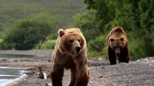 Russie : Les ours bruns du Kamtchatka menacés par la surpêche (France 2)