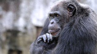 Un chimpanzé au zoo d'Abidjan (Côte d'Ivoire), le 12 juin 2014. (SIA KAMBOU / AFP)