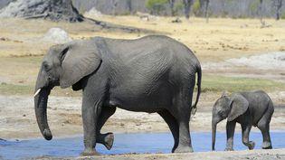 Des éléphants vont s'abreuver, dans le parc national de Hwange, au Zimbabwe, le 24 novembre 2015. (RIEGER BERTRAND / HEMIS.FR / AFP)