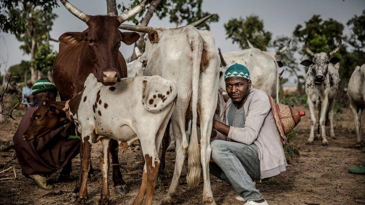Un éleveur fulani au Nigeria trait son troupeau. (LUIS TATO / AFP)