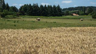 Des champs de blé dans le Beaujolais, sur la commune deSaint Germain-Nuelles (Rhône), le 9 juillet 2019. (NICOLAS LIPONNE / NURPHOTO / AFP)