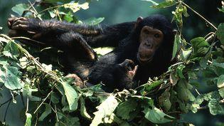 Un chimpanzé dans son nid dans le parc de Gombé en Tanzanie, le 8 décembre 2012. (MICHEL GUNTHER / BIOSPHOTO / AFP)