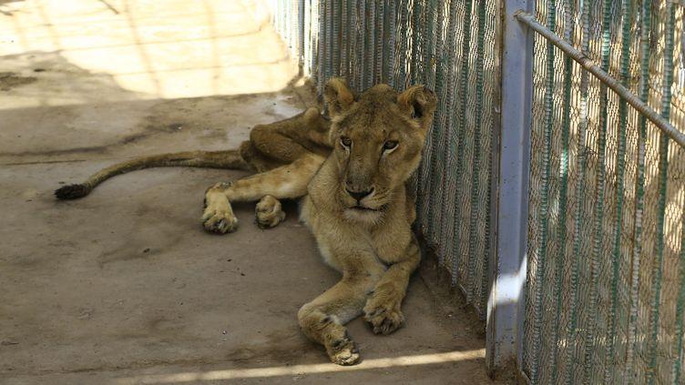 Une lionne souffrant de malnutrition est assise dans sa cage au parc el-Qurechi, dans la capitale soudanaise Khartoum, le 19 janvier 2020. (ASHRAF SHAZLY / AFP)