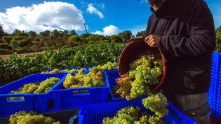 Un agriculteur ramasse ses raisins, issus de vignes de l'agriculture biologique. (STEPHANE FRANCES / ONLY FRANCE)