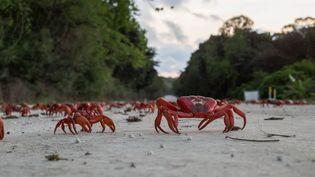 Des crabes lors de leur migration annuelle, le 3 décembre 2015, en Australie. (CATERS NEWS AGENCY / SIPA)