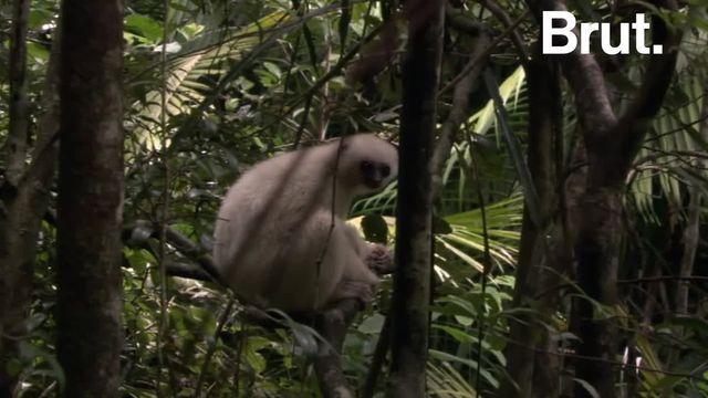 Ce lémurien blanc de Madagascar est l'une des espèces les plus menacées au monde. Le WWF et l'UICN ont allié leurs forces pour le sauver. Voici le propithèque soyeux.