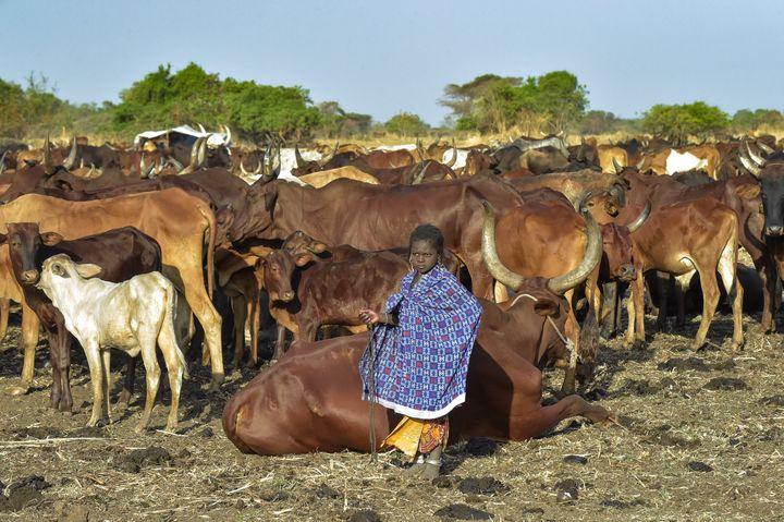 Une petite fille de la communeauté Falata garde son troupeau. A la saison sèche, les nomades remontent leurs troupeaux du Soudan vers le Soudan du Sud ou l'Ethiopie, à la recherche de l'eau. (SIMON MAINA / AFP)