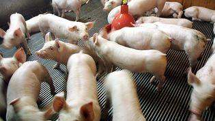 Un élevage de porcs, en 2004, à Plogastel-Saint-Germain (Finistère). (FRED TANNEAU / AFP)