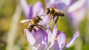 Deux abeilles se reposent sur un crocus. (illustration) (FRANK RUMPENHORST / DPA)