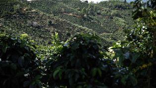 Une plantation de café dans la région montagneuse de Los Santos, au Costa Rica. (JEFFREY ARGUEDAS / EFE)