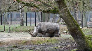 Un rhinocéros blanc au zoo deThoiry (Yvelines), le 8 mars 2017. (MUSTAFA YALCIN / ANADOLU AGENCY)