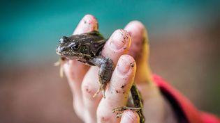 Le Muséum national d'histoire naturelle s'inquiète des conséquences de la consommation de cuisses de grenouilles sur l'environnement. (FRANK RUMPENHORST / DPA)