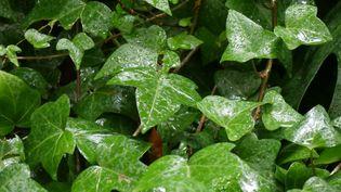 Originaire d'Irlande ou d'Algérie, le lierre est un atout pour la biodiversité. (ISABELLE MORAND / RADIO FRANCE / FRANCE INFO)