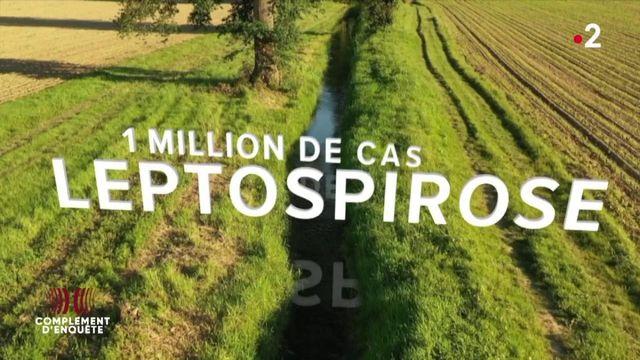 Complément d'enquête. Zoonoses : qu'est-ce que la leptospirose, la plus répandue des maladies transmises par les animaux ?