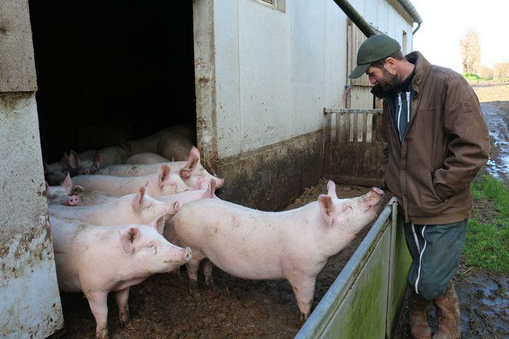 Christophe Gosselin devant ses cochons dans son élevage de Fervaches (Manche) le 11 février 2016. (BENOIT ZAGDOUN / FRANCETV INFO)