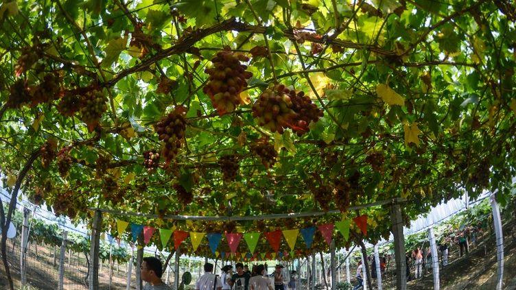 Un vignoble dans l'est de la Chine, le 27 juillet 2013. (XU YU / XINHUA / AFP)