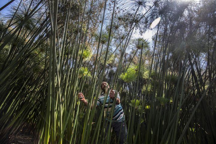 Abdel Mobdi Moussalam coupe des roseaux de papyrus sur sa terre du village égyptien de al-Qaramous. (KHALED DESOUKI / AFP)