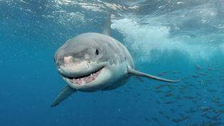 Un grand requin blanc au large de l'Australie. (PATRICE HERAUD / BIOSPHOTO / AFP)