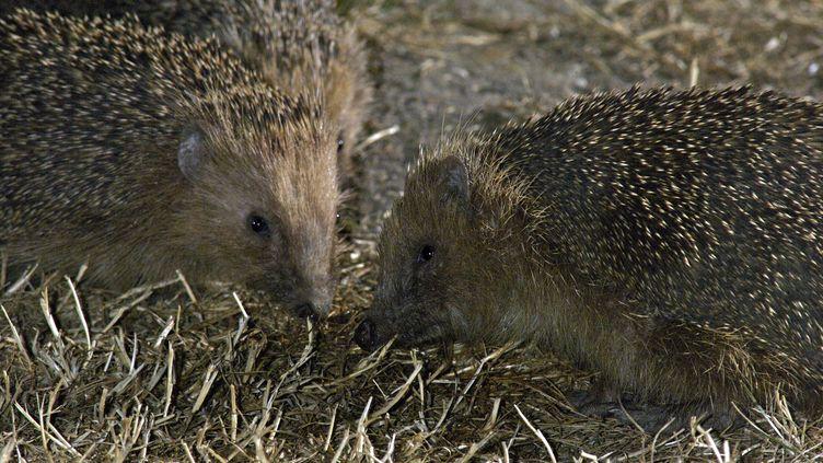 Les hérissons, dont le nombre ne cesse de chuter en Europe, sont une espèce protégée. (LENARTOWSKI / BSIP / AFP)
