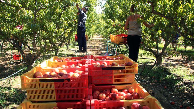 Des travailleurs agricoles cueuillent les nectarines dans une ferme de l'Ille-sur-Tet (Pyrénées-Orientales), le 12 septembre 2013. (RAYMOND ROIG / AFP)