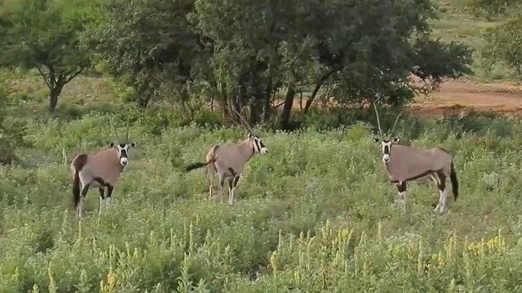 Des ranchs texans organisent des safaris pour chasser des animaux d'Afrique, nés et élevés sur place pour le plaisir des chasseurs. (FRANCE 2)