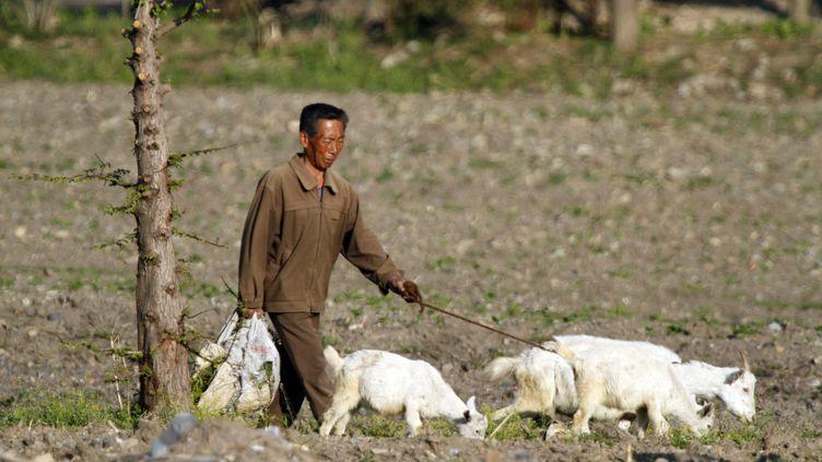 Un homme avec ses chèvres à Chongsu, au Nord de Pyongan en mars 2017. (MAXPPP)