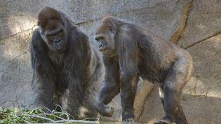 Ces deux gorilles, Winston et Imani, photographiés en janvier au zoo de San Diego (Etats-Unis), avaient été diagnostiqués positifs au Covid-19. (KEN BOHN / SAN DIEGO ZOO GLOBAL / AFP)