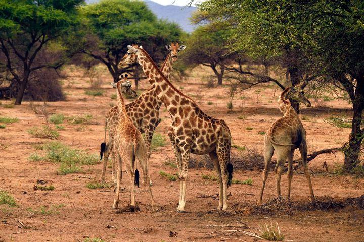 Les acacias assurent l'alimentation de nombreux animaux vivant dans la savane. (PHILIPPE ROYER / ONLY WORLD)