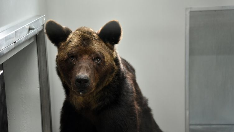 L'ours Mischa recueilli au zoo refuge La Tanière en Eure-et-Loire, en septembre 2019. (QUENTIN REIX / MAXPPP)