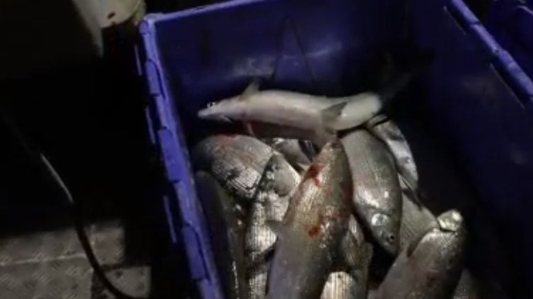 La féra est un poisson d'exception qu'on ne peut trouver que dans les lacs alpins. Sa chair délicate est prisée par les plus grands chefs. Sur le lac Léman, France 3 a participé à cette pêche réglementée et durable en compagnie d'un professionnel. (france 3)