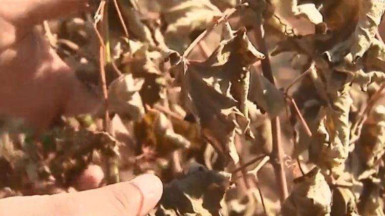 Des vignes ont été dévastées par la canicule à Sussargues (Hérault). (FRANCE 3 OCCITANIE)