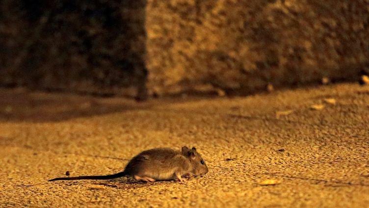 Une souris à Marseille, en 2016. En Australie, des milliers de rongeurs ont envahi une partie de l'Etat de Nouvelle-Galles du Sud. (VALLAURI NICOLAS / MAXPPP)