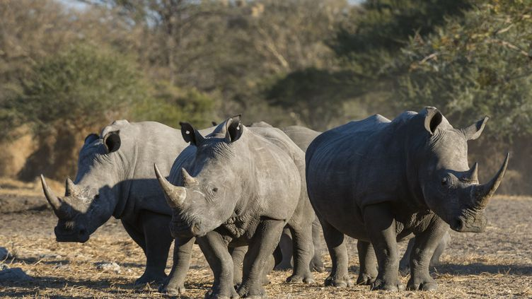 Trois rhinocéros blancs photographiés dans le désert du Kalahari au Botswana en 2017. L'espèce est considérée en voie d'extinction. (PITAMITZ SERGIO / HEMIS.FR / HEMIS.FR)