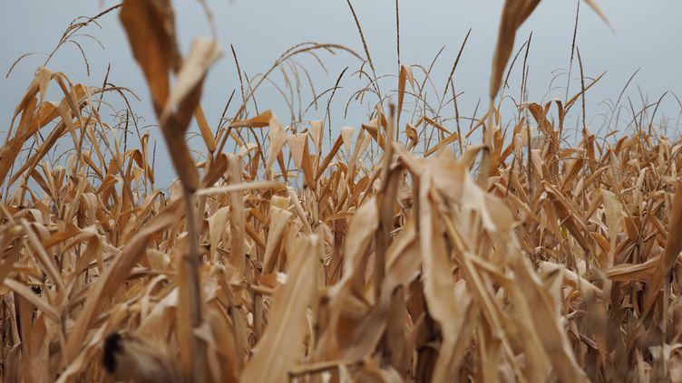 Un champ de maïs victime de la sécheresse, à Tournon-Saint-Pierre (Indre-et-Loire), le 23 septembre 2019. (GUILLAUME SOUVANT / AFP)