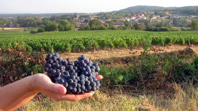 Ouverture du ban des vendanges en Saône-et-Loire le 13 août 2020. (GILLES PLATRET / MAXPPP)