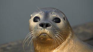 """Bien que ses effectifs restent faibles, estimés entre 400 et 500 individus adultes, le phoque veau-marin est classée """"Quasi menacée"""" en France, car elle bénéficie des échanges avec les colonies voisines et la tendance actuelle de sa population est en augmentation. (AFP)"""