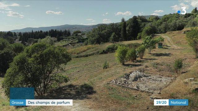 Alpes-Maritimes : dans les champs de parfum de Grasse