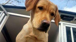 L'un des deux chiens volés à l'association de Chiens guides d'aveugles de Lyon et du Centre-Est, lundi 10 avril 2018. (ASSOCIATION DE CHIENS GUIDES D'AVEUGLES DE LYON ET DU CENTRE EST / FACEBOOK)