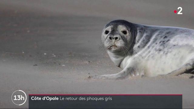 Tourisme : le retour des phoques sur la Côte d'Opale