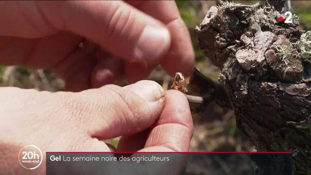 Gel : la détresse des arboriculteurs et des viticulteurs