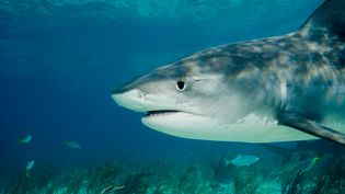 Le requin tigre (photo) et le requin bouledogue sont les deux principales espèces impliquées dans les attaques à La Réunion. (IMAGE SOURCE / AFP)