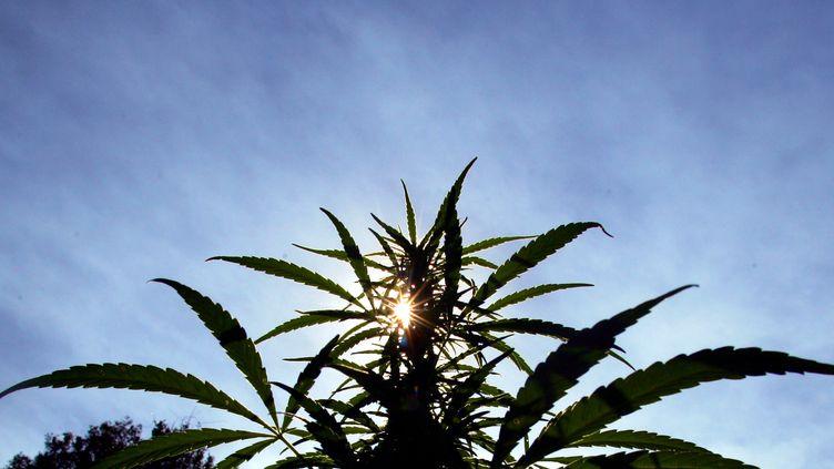 Plan de cannabis dans les montagnes reculées du nord de Lebombo au Swaziland (photo d'archives du 24 mai 2005). (MIKE HUTCHINGS / X00388)
