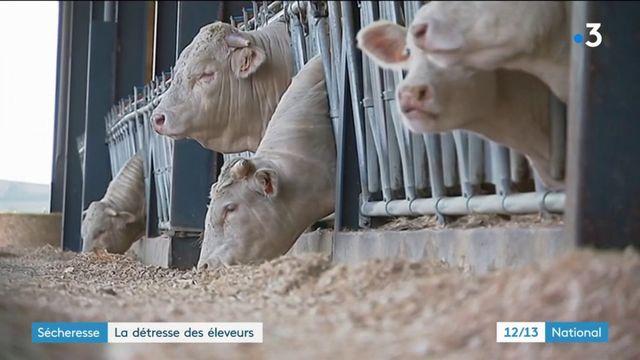 Sécheresse : la détresse des éleveurs