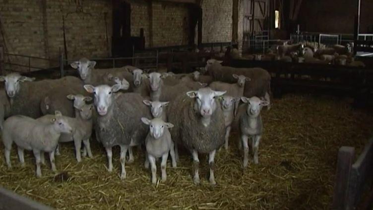 Un élevage ovin de Loon-Plage (Nord), filmé par France 3 Nord-Pas-de-Calais en octobre 2014. (FRANCE 3 NORD-PAS-DE-CALAIS)