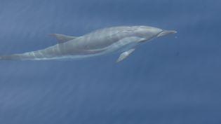 Un dauphin photographié au large de Villefranche-sur-Mer (Alpes-Maritimes), le 19 juillet 2010. (MAXPPP)